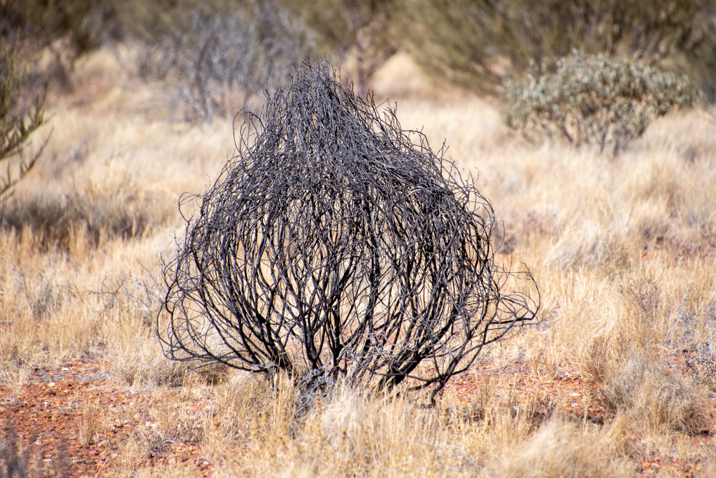 The northern territory is full of these strange looking bushes which appear to be tied at the top