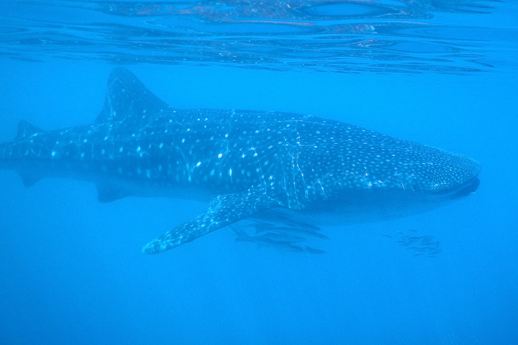 Our 1st whale shark