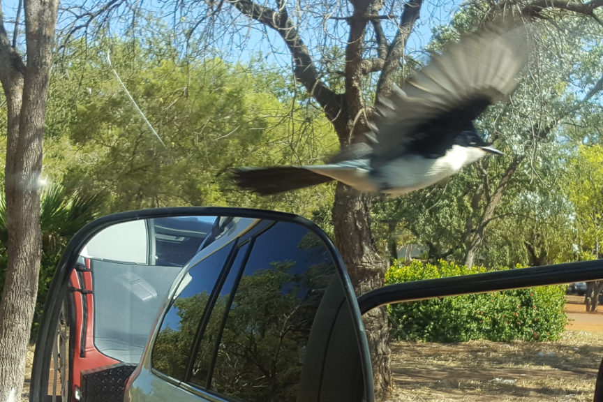 Punk Willie Wagtail visits our car