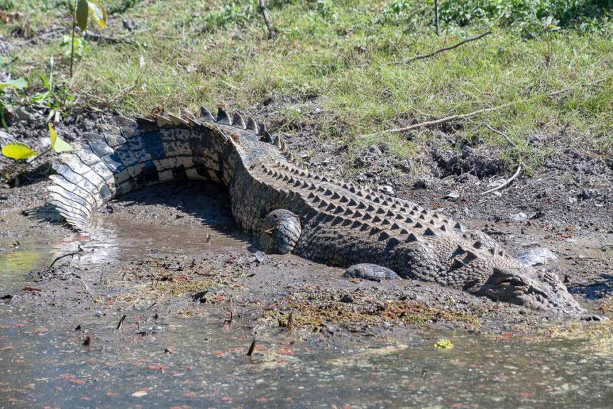 1st croc