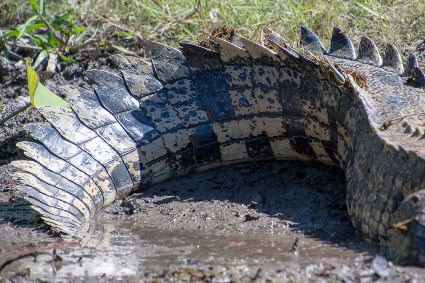 The pale colour of the tail indicates the croc came into the lagoon from the salt water this year