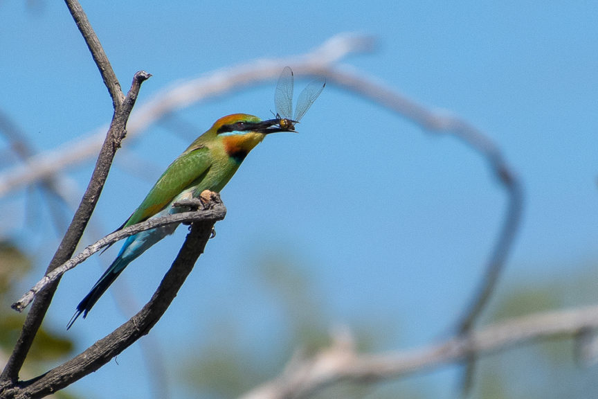 Rainbow Bee Eater with his dinner