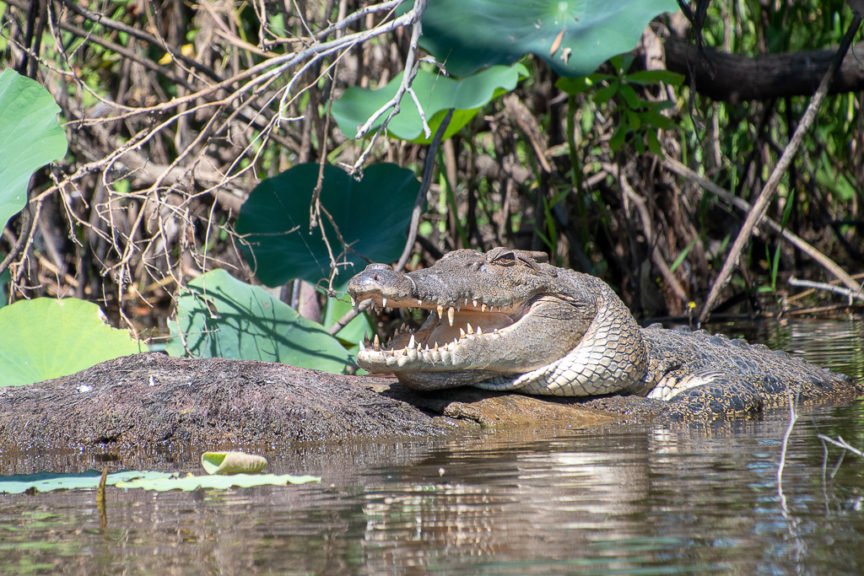 Corroboree Lagoon Croc