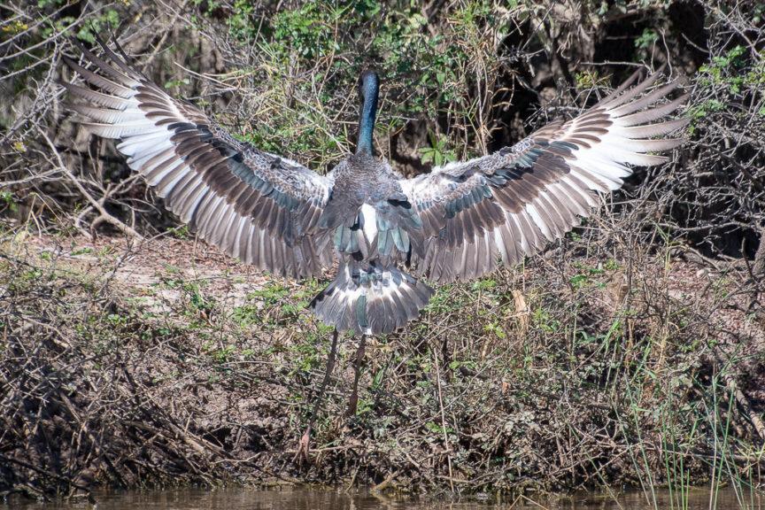 Jabiru spreads his wings