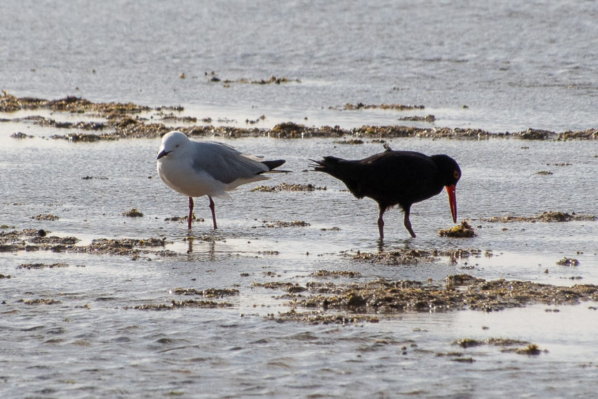 Seagull & Pied Oyster-catcher