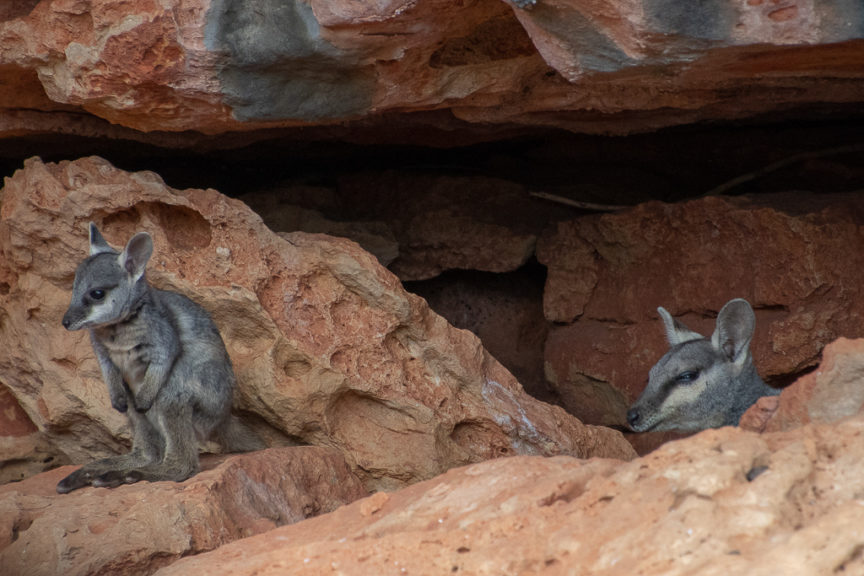 Baby wallaby - mum is checking us out