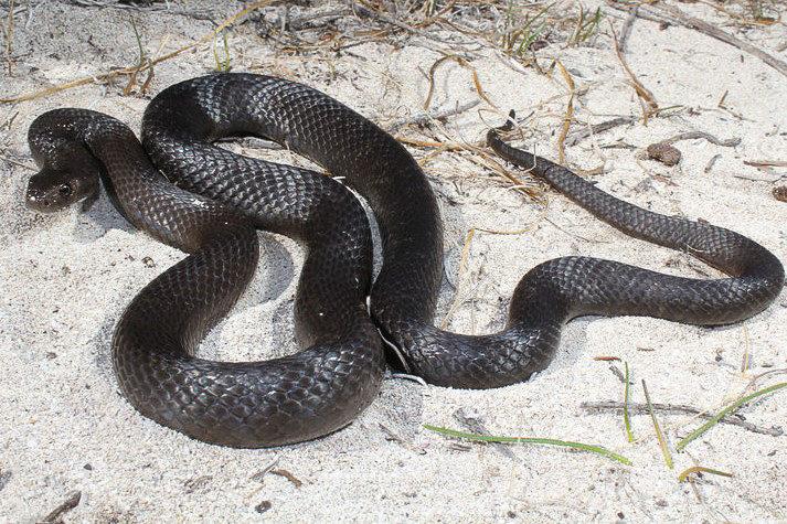 Dugite Snake