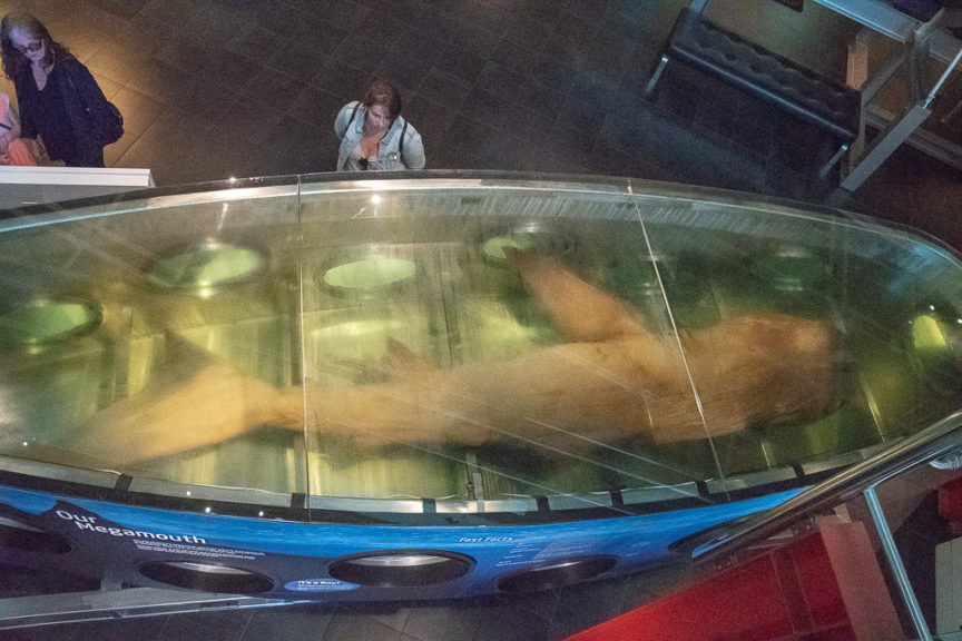 Massive preserved shark