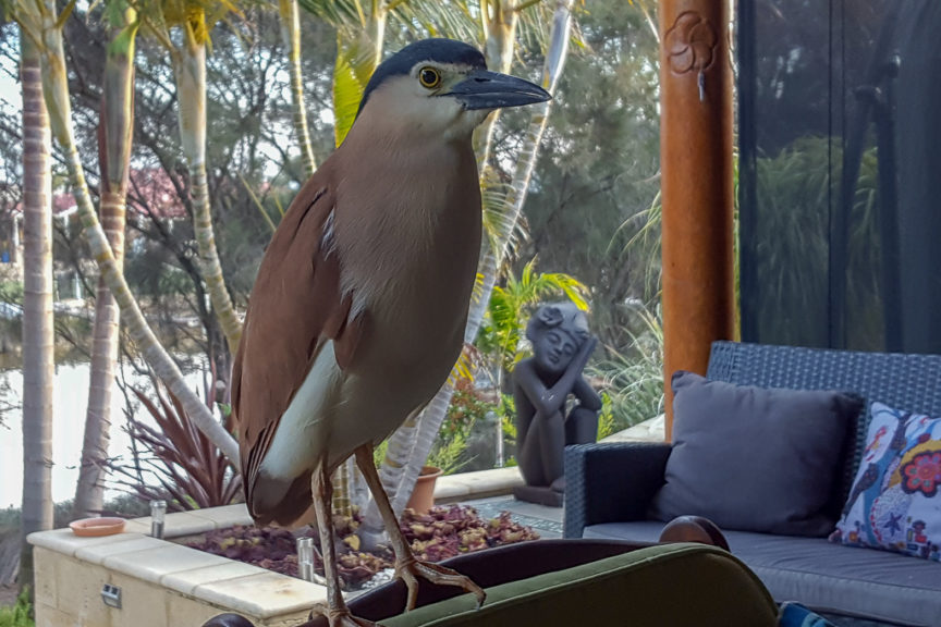 Night Heron visits Pecks house in South Yunderup