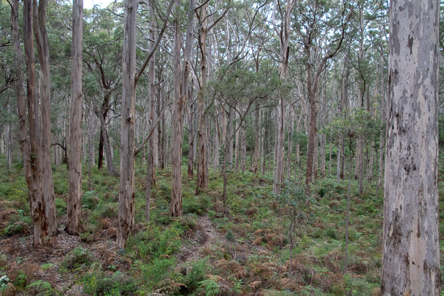 Boranup Forest