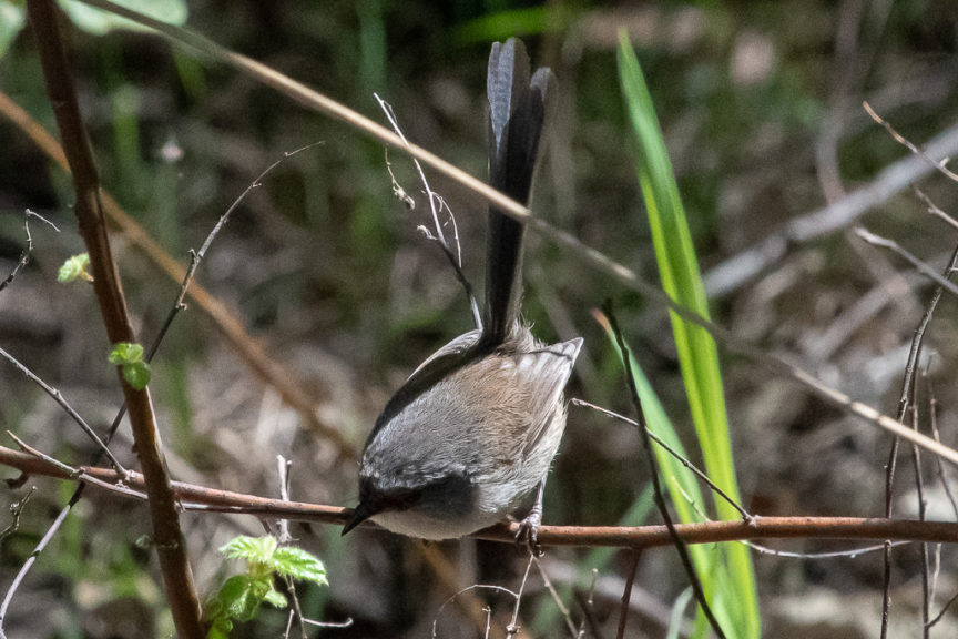 Wren in Valley of the Giants